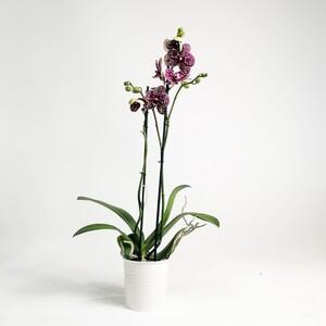 Fidan Burada - Orkide - Lekeli Mor - Wildcat - Çift Dallı