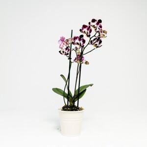 Fidan Burada - Orkide Midi Çift Dallı Alacalı - Ekru Saksılı