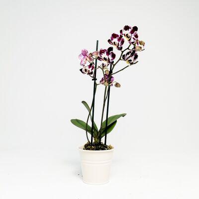 Orkide Midi Çift Dallı Alacalı - Ekru Saksılı