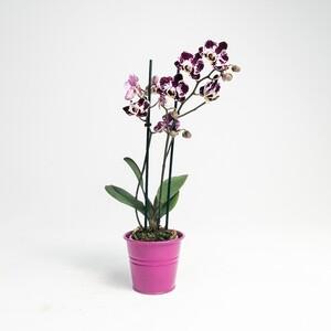 Fidan Burada - Orkide Midi Çift Dallı Alacalı - Fuşya Saksılı