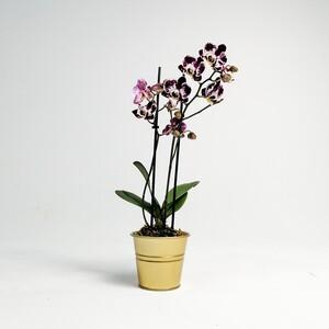 Fidan Burada - Orkide Midi Çift Dallı Alacalı - Gold Saksılı