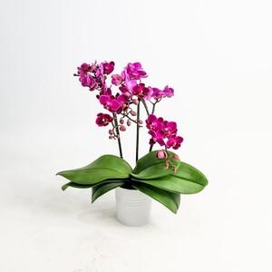 Fidan Burada - Orkide Mor - Çift Dallı