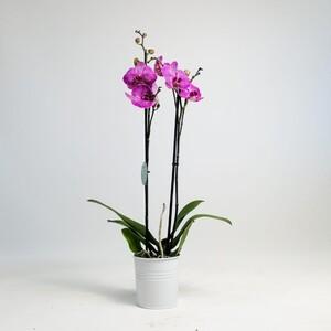 Fidan Burada - Orkide-Mor Funktion - Çift Dallı