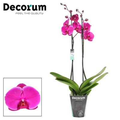 Orkide- Açık Mor -Joyride- Çift Dallı