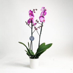 Fidan Burada - Orkide- Açık Mor -Joyride- Çift Dallı