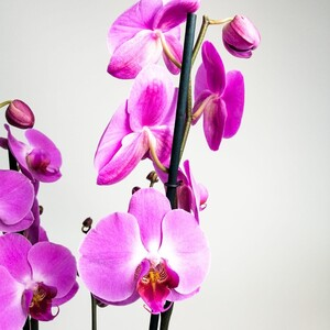 Orkide- Açık Mor -Joyride- Çift Dallı - Thumbnail
