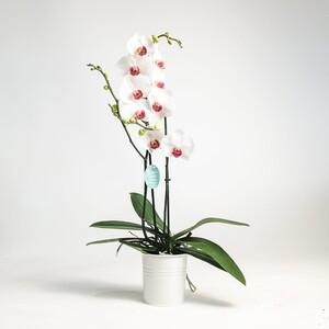 Fidan Burada - Orkide- Passion Beyaz - Çift Dallı