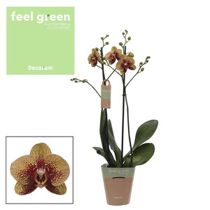 Fidan Burada - Orkide Turuncu- Charmer - Çift Dallı