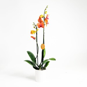 Fidan Burada - Orkide Turuncu- Surf Song - Çift Dallı