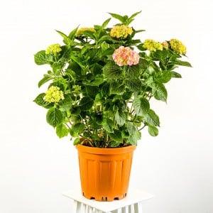 Ortanca Çiçeği Dev Boy ( Hydrangea Macrophylla ) Pembe Çiçekli - Thumbnail