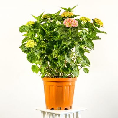 Ortanca Çiçeği Dev Boy ( Hydrangea Macrophylla ) Pembe Çiçekli