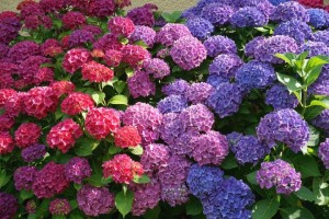 Fidan Burada - Ortanca Çiçeği - Hydrangea Macrophylla