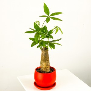 Fidan Burada - Pachira Aquatica - Curvy Kırmızı Saksılı Mini Para Ağacı 30-40cm
