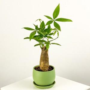Fidan Burada - Pachira Aquatica - Curvy Mint Yeşili Saksılı Mini Para Ağacı 30-40cm