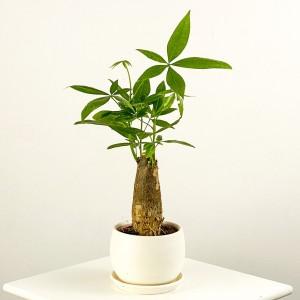 Fidan Burada - Pachira Aquatica - Curvy Beyaz Saksılı Mini Para Ağacı 30-40cm