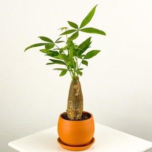 Fidan Burada - Pachira Aquatica - Curvy Terra Cotta Saksılı Mini Para Ağacı 30-40cm
