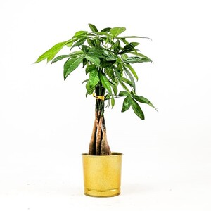 Ücretsiz Kargo - Pachira Aquatica-Mini Örgülü Para Ağacı 40-50 Cm Gold Dekoratif Saksılı