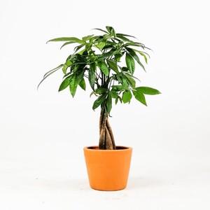 Ücretsiz Kargo - Pachira Aquatica-Mini Örgülü Para Ağacı 40-50 Cm Terracota Toprak Saksılı