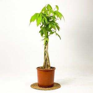 Fidan Burada - Pachira Aquatica -Örgülü Para Ağacı 100-120cm
