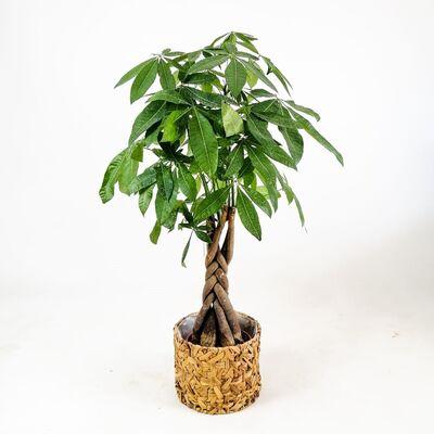 Pachira Aquatica - Rolyn Hasır Sepetli - Örgülü Para Ağacı 120-140 Cm