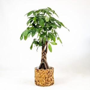 Ücretsiz Kargo - Pachira Aquatica - Rolyn Hasır Sepetli - Örgülü Para Ağacı 120-140 Cm