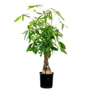 Fidan Burada - Pachira Aquatica -Örgülü Para Ağacı 140-160cm