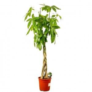 Fidan Burada - Pachira Aquatica -Örgülü Para Ağacı 160-80cm