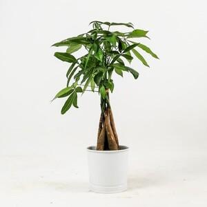 Fidan Burada - Pachira Aquatica-Mini Örgülü Para Ağacı 40-50 Cm Beyaz Dekoratif Saksılı