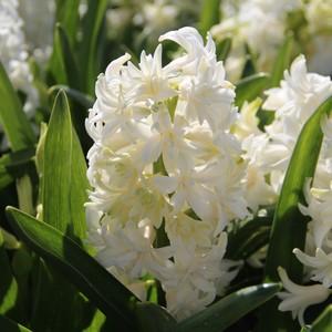 Fidan Burada - Pallas Beyaz Sümbül Çiçeği Soğanı-İthal-3 Adet