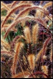 Fidan Burada - PANİSETUM ÇALISI (Pennisetum Setacum Rubrum)
