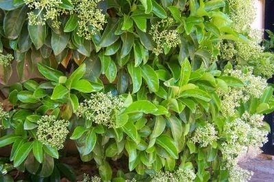 PARLAK YAPRAKLI KARTOPU (Viburnum Lucidum)