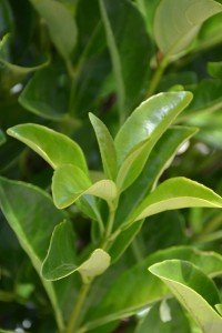 Fidan Burada - PARLAK YAPRAKLI KARTOPU (Viburnum Lucidum)