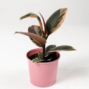 Fidan Burada - Pembe Alacalı Kauçuk Bitkisi- Pembe Saksılı Ficus Elastica Belize-İthal-30 Cm
