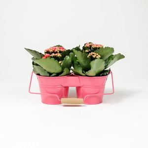 Fidan Burada - Pembe Dekoratif Saksılı Kalanşo Çiçeği