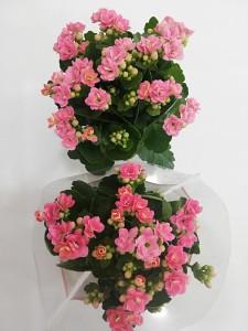 Fidan Burada - Pembe Kalanşo Çiçeği- Orta Boy-Kalanchoe