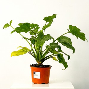 Fidan Burada - Philodendron Selloum 30-40cm
