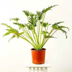 Fidan Burada - Philodendron Xanadu 80-100cm
