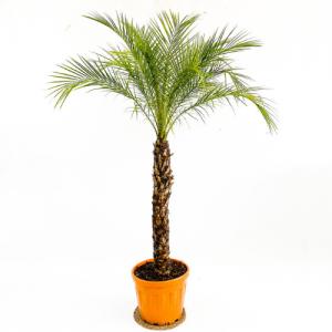 Fidan Burada - Phoenix Roebelenii 200+cm Palmiyesi