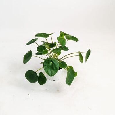 Pilea Peperomioides-Çin Para Bitkisi