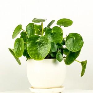 Pilea Peperomioides Curvy Saksılı - Çin Para Bitkisi - Thumbnail