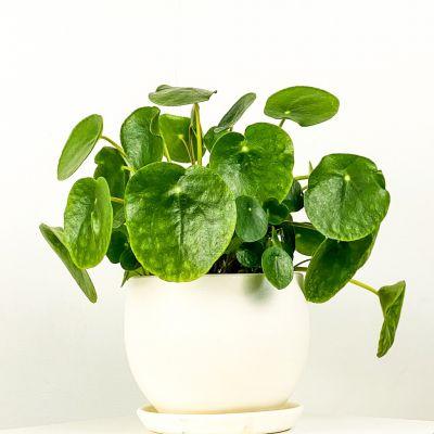 Pilea Peperomioides Curvy Saksılı - Çin Para Bitkisi
