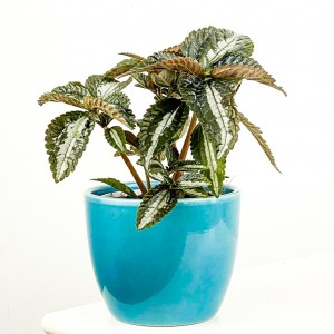 Pilea Silver Tree Mavi Seramik Saksılı 10-15cm - Thumbnail