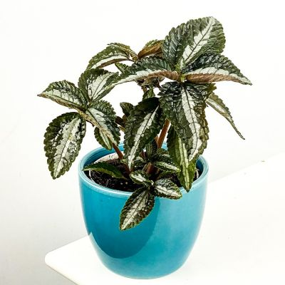 Pilea Silver Tree Mavi Seramik Saksılı 10-15cm