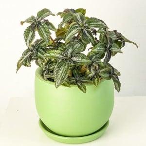 Fidan Burada - Pilea Spruceana Silver Tree Mint Yeşili Curvy Saksılı