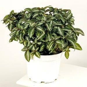 Fidan Burada - Pilea Spruceana 'Silver Tree' XL