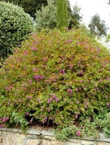 POLİGALA ÇİÇEĞİ - SÜT OTU (Polygala Myrtifolia) - Thumbnail