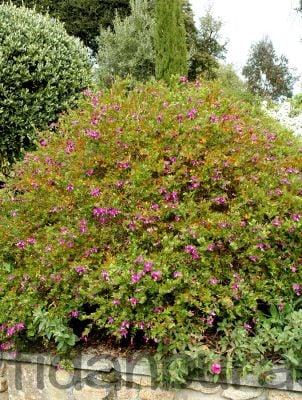 POLİGALA ÇİÇEĞİ - SÜT OTU (Polygala Myrtifolia)