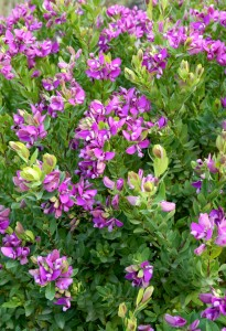 Fidan Burada - POLİGALA ÇİÇEĞİ - SÜT OTU (Polygala Myrtifolia)