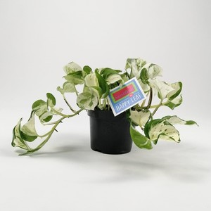 Fidan Burada - Potos -Alacalı Salon Sarmaşığı - Epipremnum Marble Queen