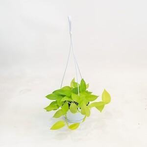 - Potos - Salon Sarmaşığı - Epipremnum Aureum Neon - Askılı Saksıda